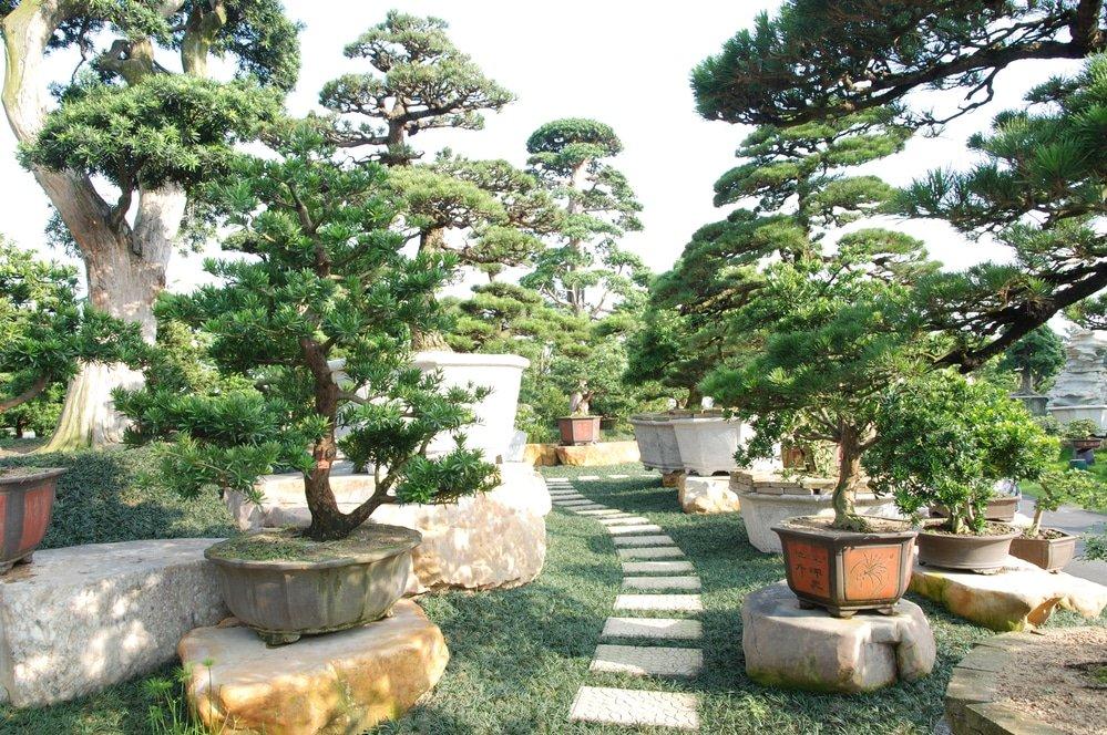 Декоративные деревья бонсай